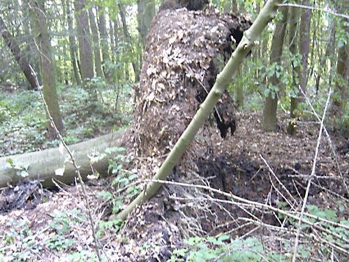 Root ball of fallen oak
